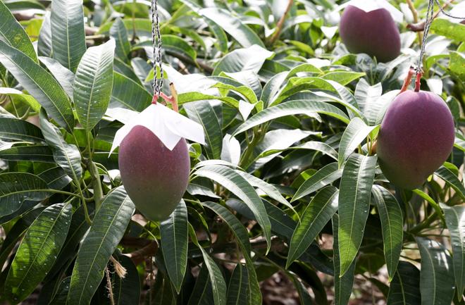元気に育つマンゴー