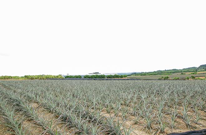 広がるパイナップル畑
