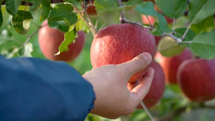 盛岡リンゴ